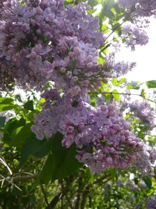 Lilacs in Winter 2016 New Year's Day